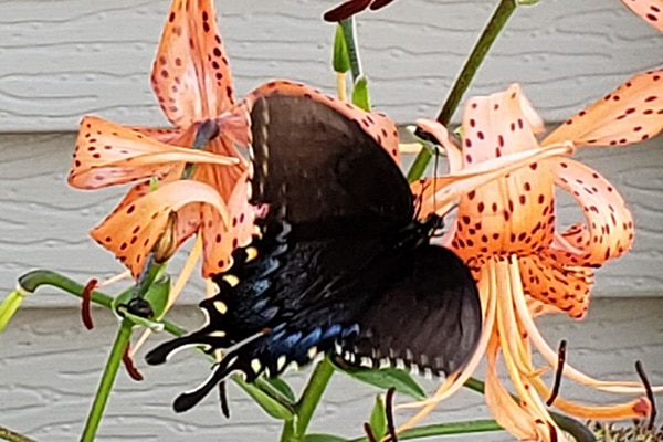 Female Tiger Swallowtail on Tiger Lily