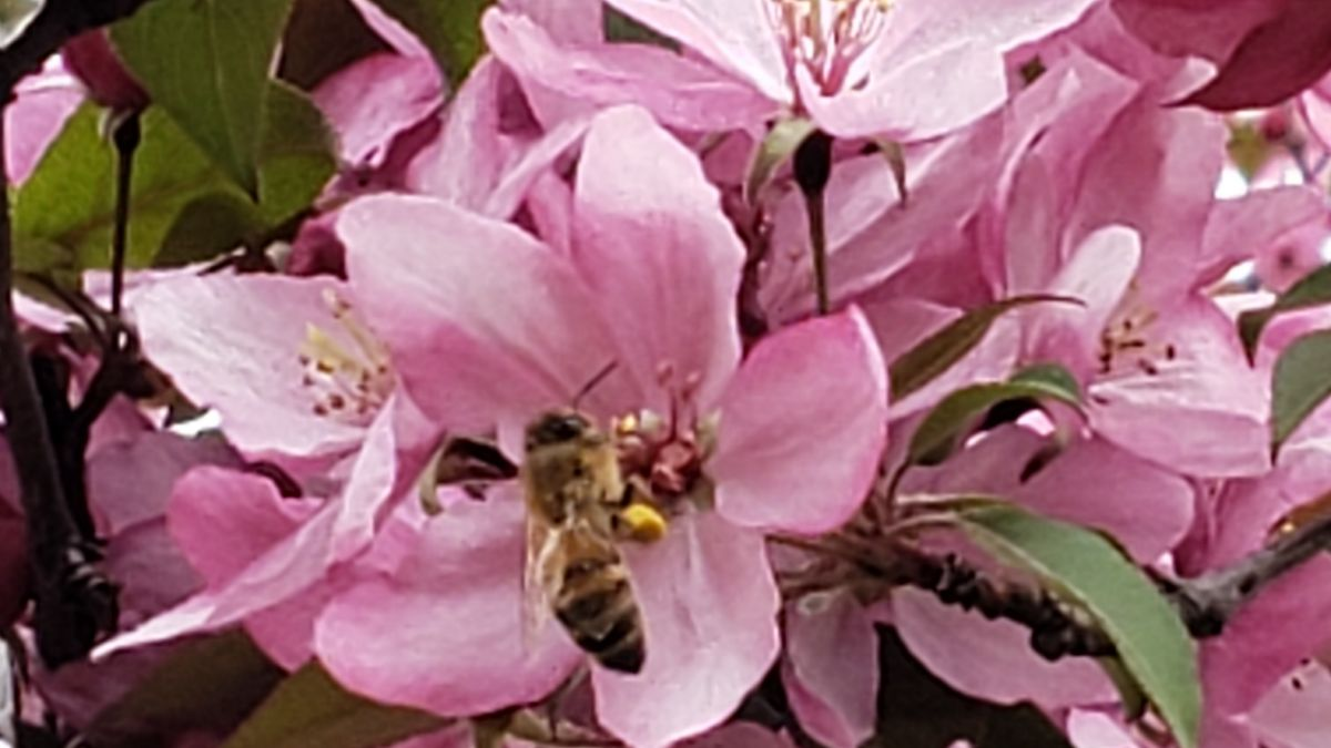 Bee Sipping Sweetly Scented Spring Blossom